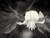 Bowing Trillium Flower