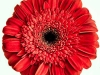 Bold Red Gerbera