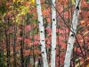 Birch Tree Trio