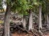 Tall White Cedar Trees