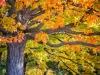 Maple Tree Splendor